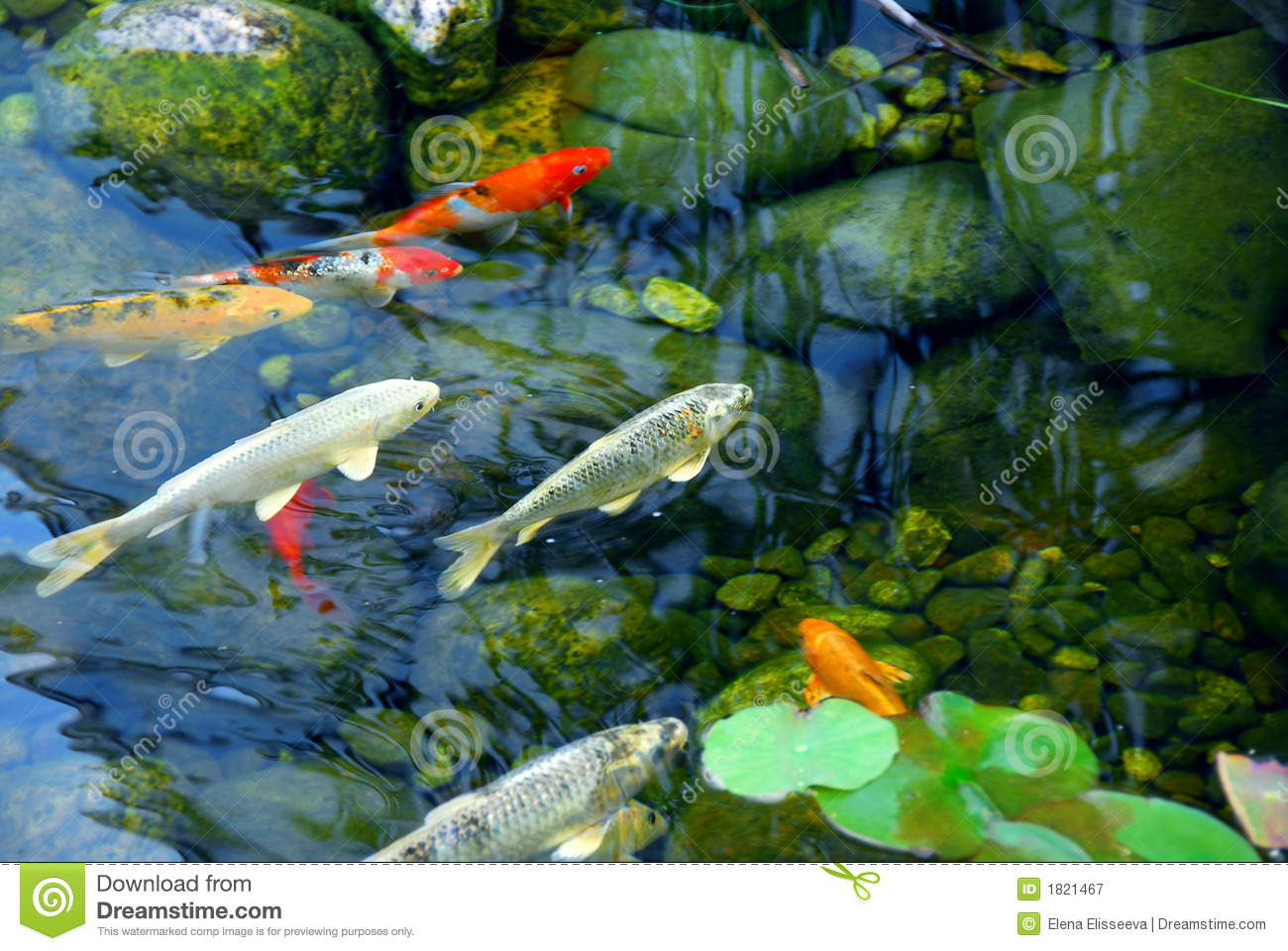 Koi pond stock image image of asia colorful plant for Freshwater koi fish