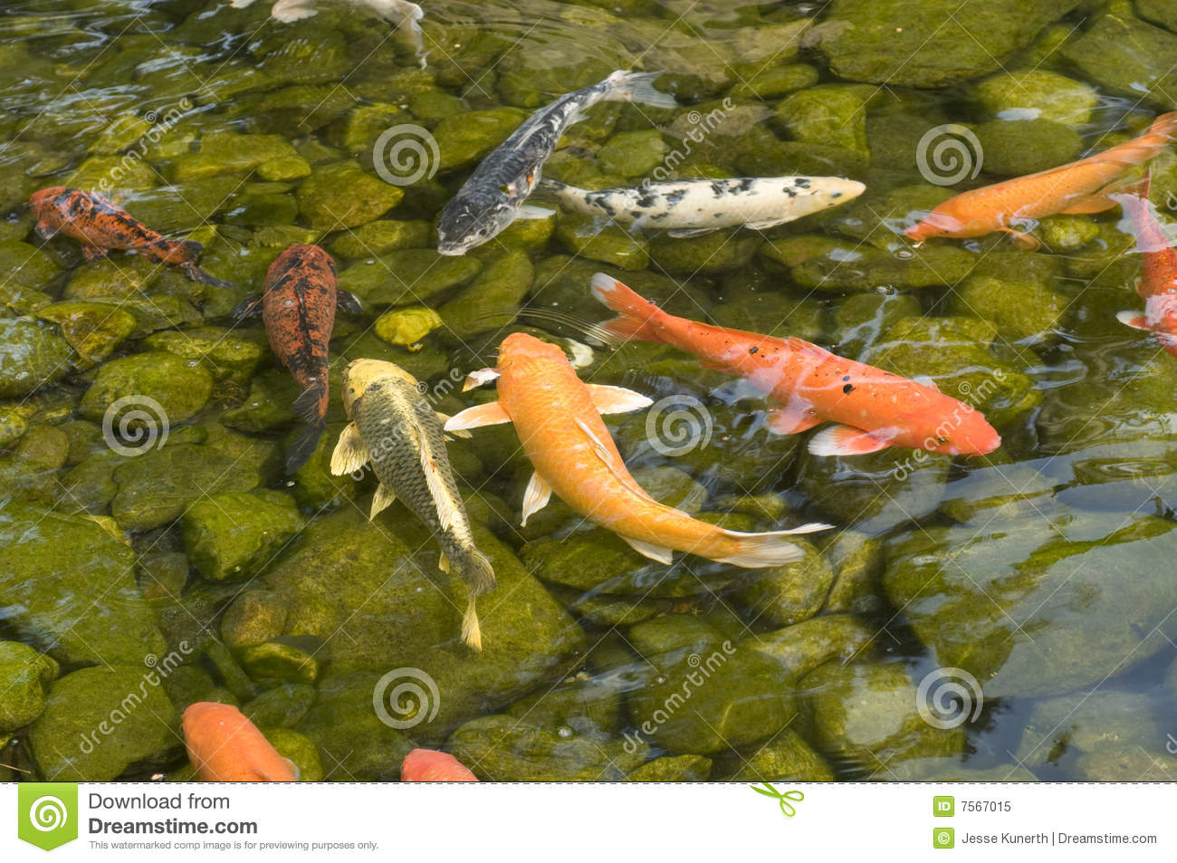 Koi pond stock image image of orange fish nature pond for Pond fish varieties