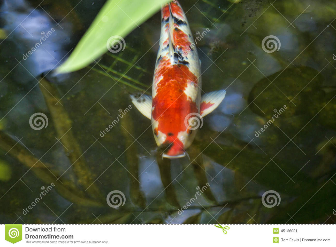 Koi in a pond stock photo image 45136081 for Pool koi aquatics ltd