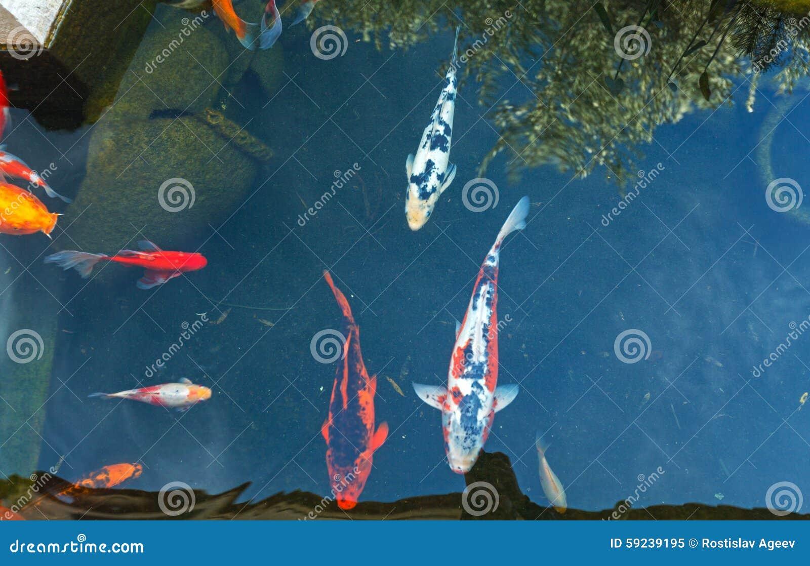 Download Koi Pond Con Los Pescados Coloridos De Las Carpas De Japón Imagen de archivo - Imagen de amarillo, hermoso: 59239195