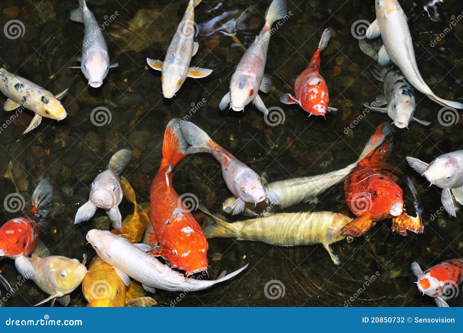 Koi pond with fish stock photography image 20850732 for Shallow koi pond
