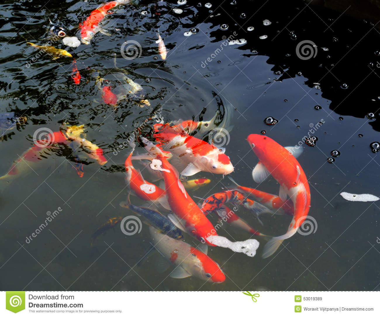 Koi pond stock photo image 53019389 for Colorful pond fish