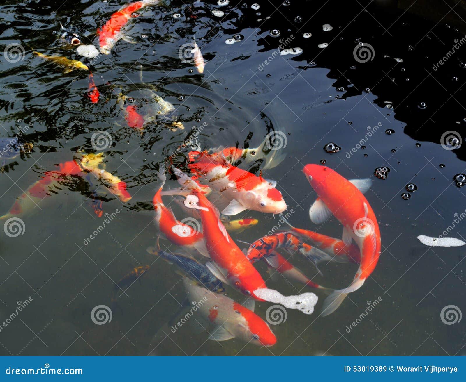 Koi pond stock photo image 53019389 for Colorful pond fish