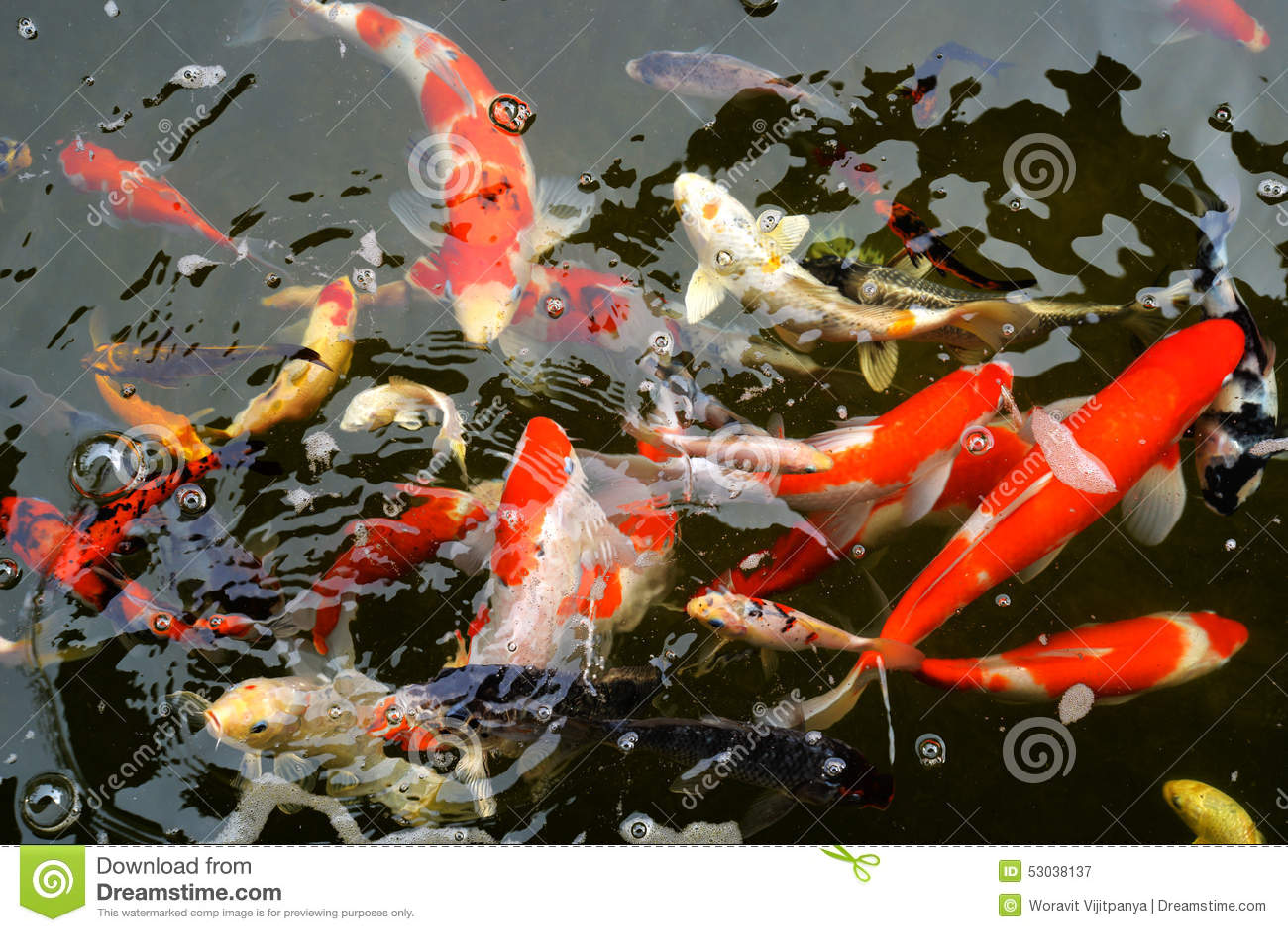 Koi pond stock photo image 53038137 for Colorful pond fish