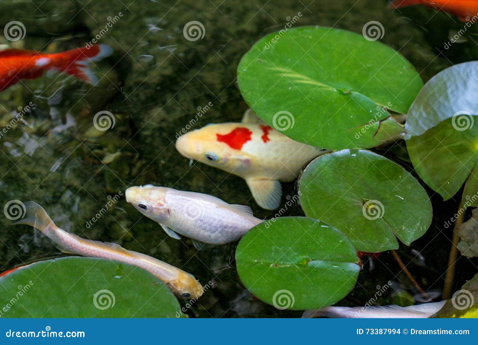 Koi pond stock photo image 73387994 for Koi fish pond lotus