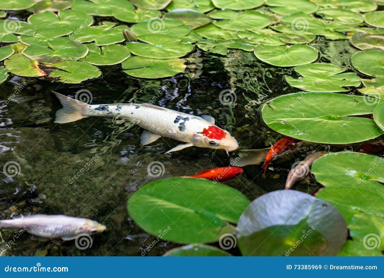 Koi pond stock photo image 73385969 for Koi fish pond lotus