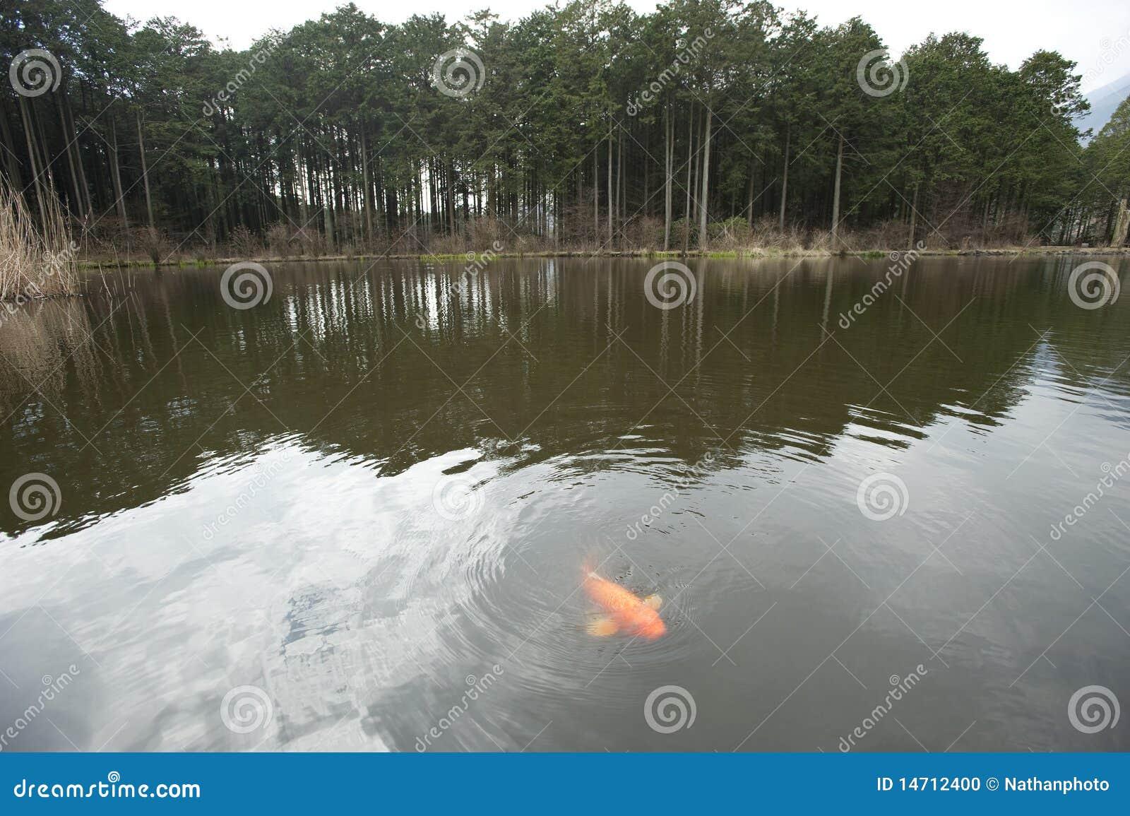 Koi pond with koi fish zen like stock photo image 14712400 for Koi pond zen