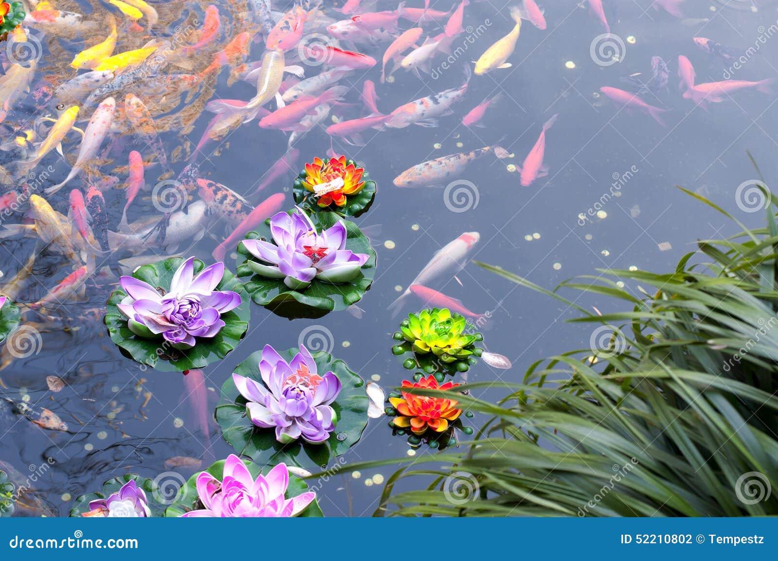 Koi pond stock photo image 52210802 for Koi fish pond lotus