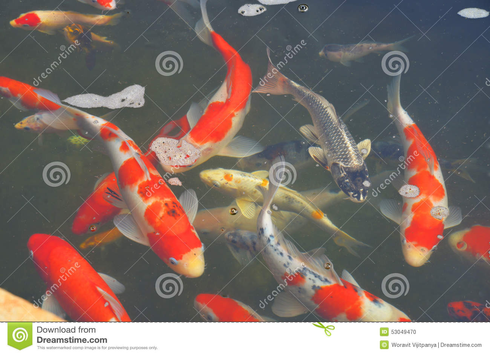 Koi pond in pond stock photo image 53049470 for Beautiful koi fish