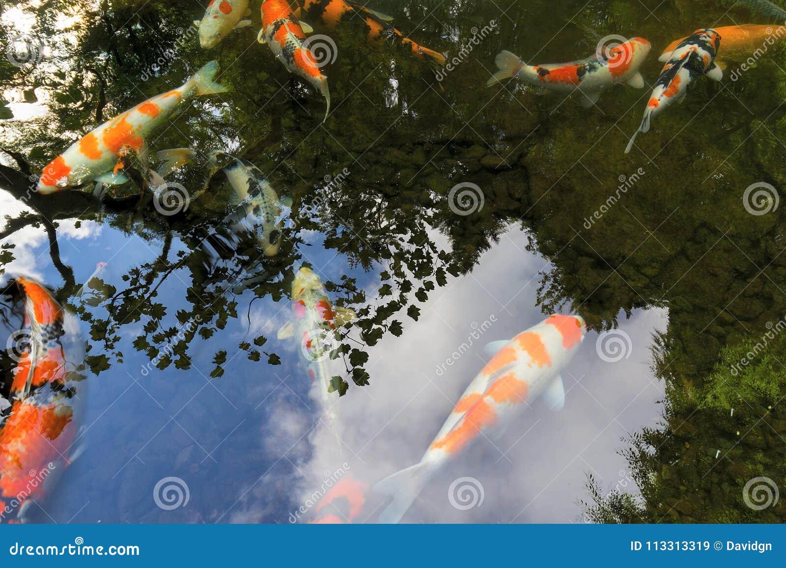 Karpers In Tuin : Koi pond reflection in japanse tuin stock afbeelding afbeelding