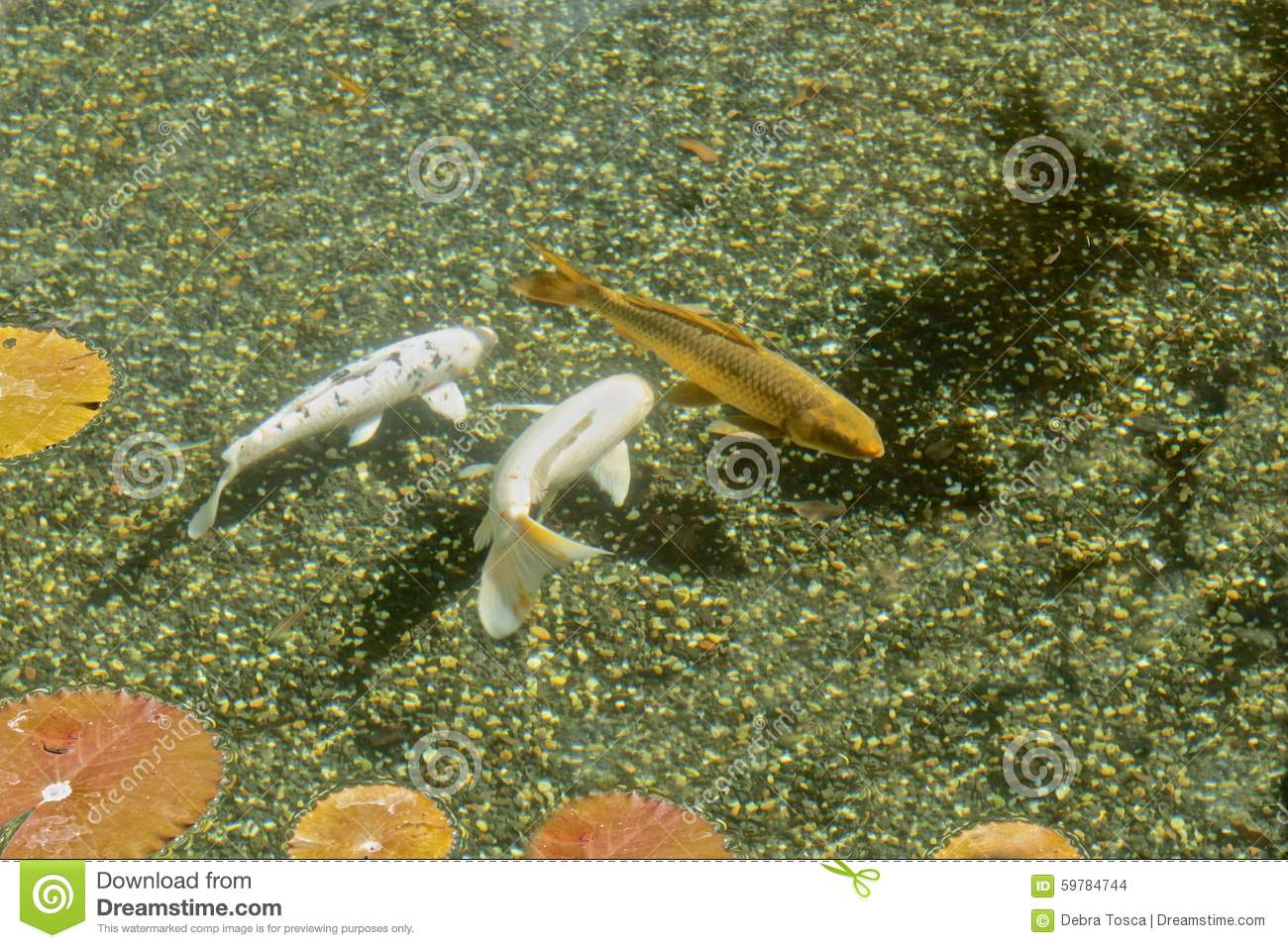 Koi pond stock photo image of fish fish pads unique for Unusual pond fish