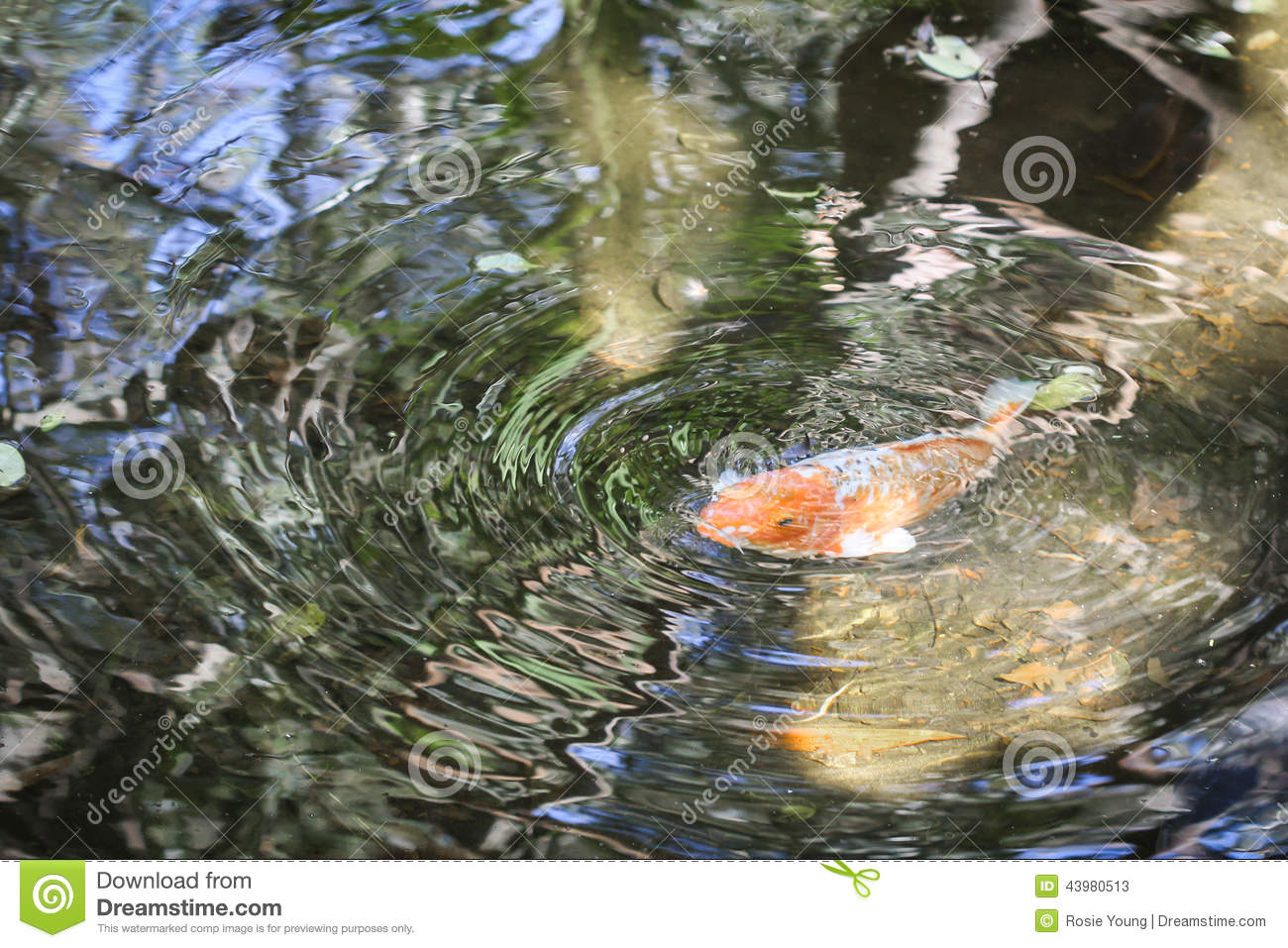 Koi ripples stock image image of surface carp tail for Surface fish ponds