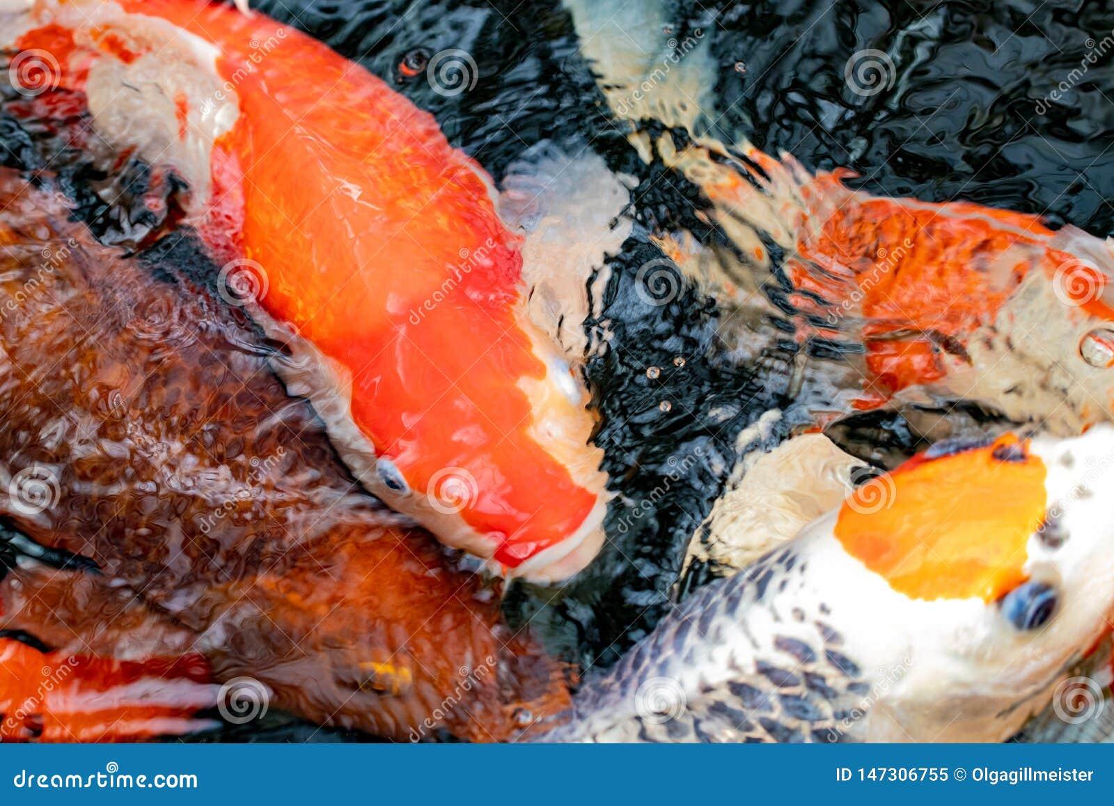 Koi ryba t?o Zbliżenie wiele kolorowi zanurzający Japońscy kois z wodą pluskocze na powierzchni Makro-