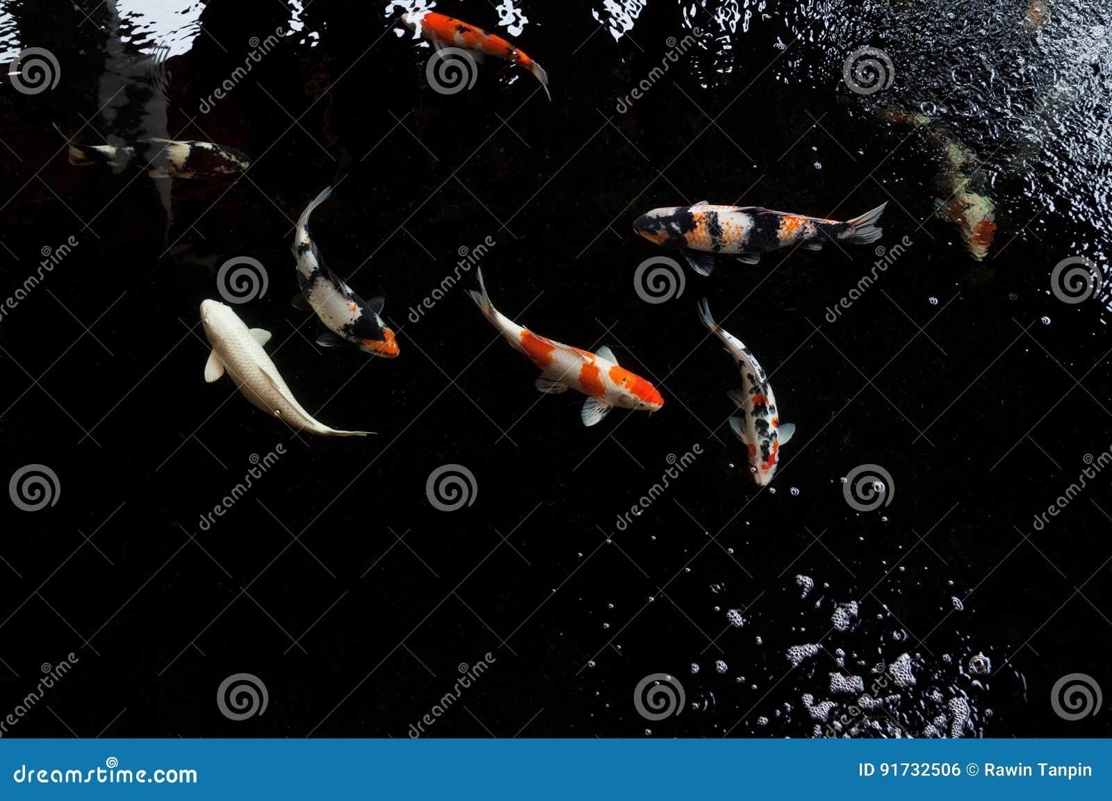 Koi-Schwimmen in einem Wassergarten, bunter koi Fisch