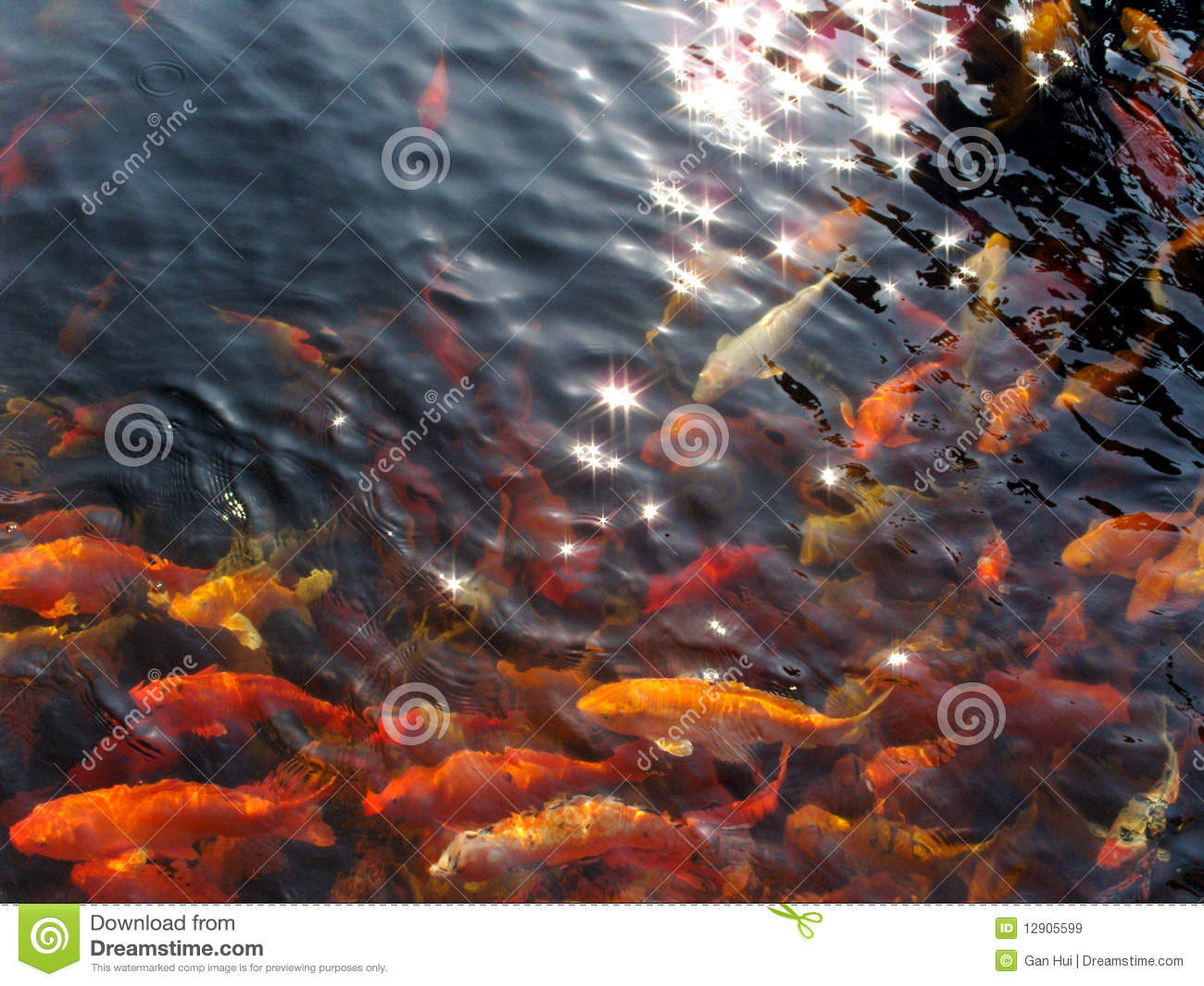 Koi swim under starry sun royalty free stock images for Koi swimming