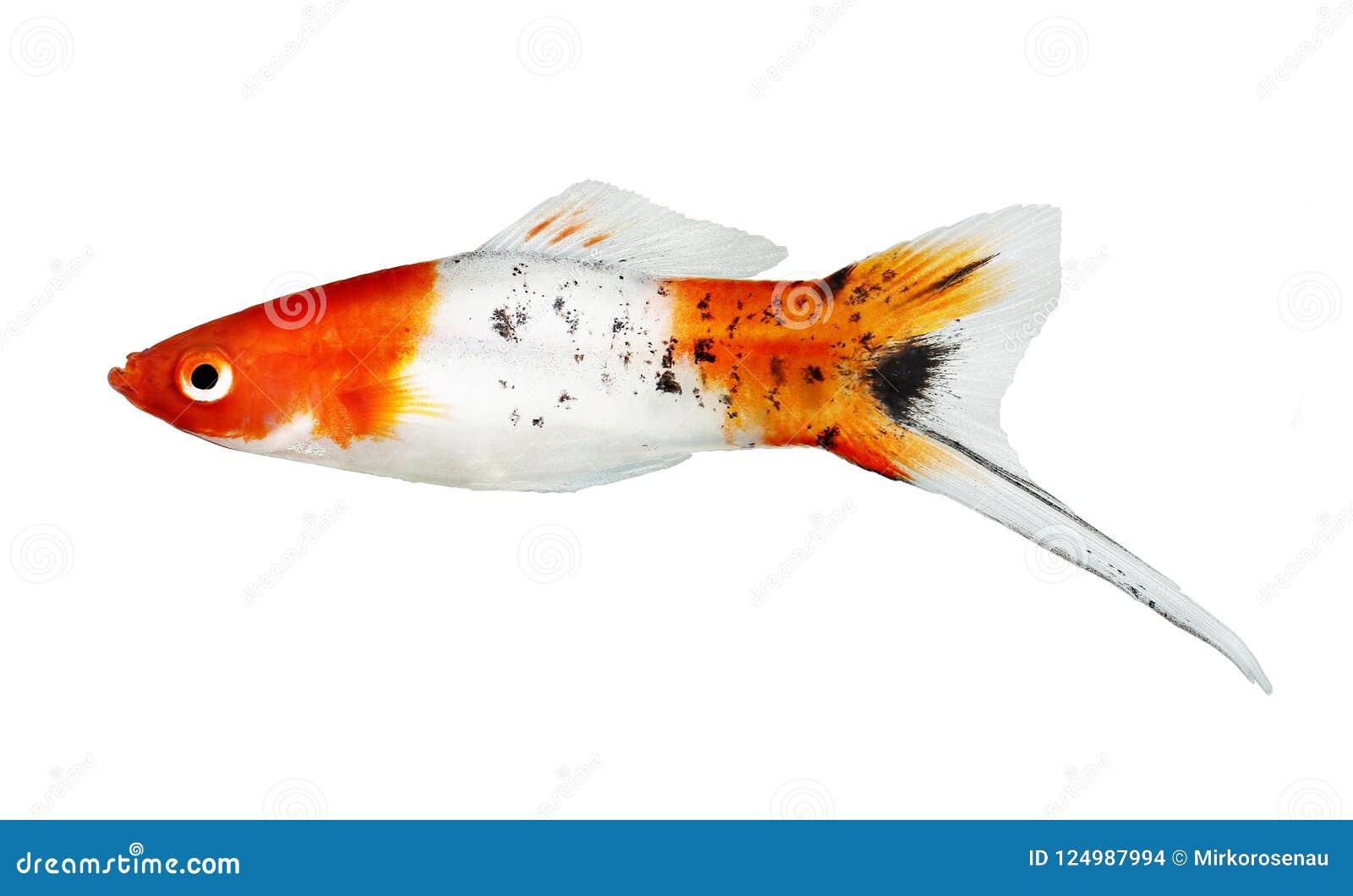 Koi Swordtail Xiphophorus Helleri Αρσενικό ψάρια ενυδρείου που απομονώνονται σε λευκό