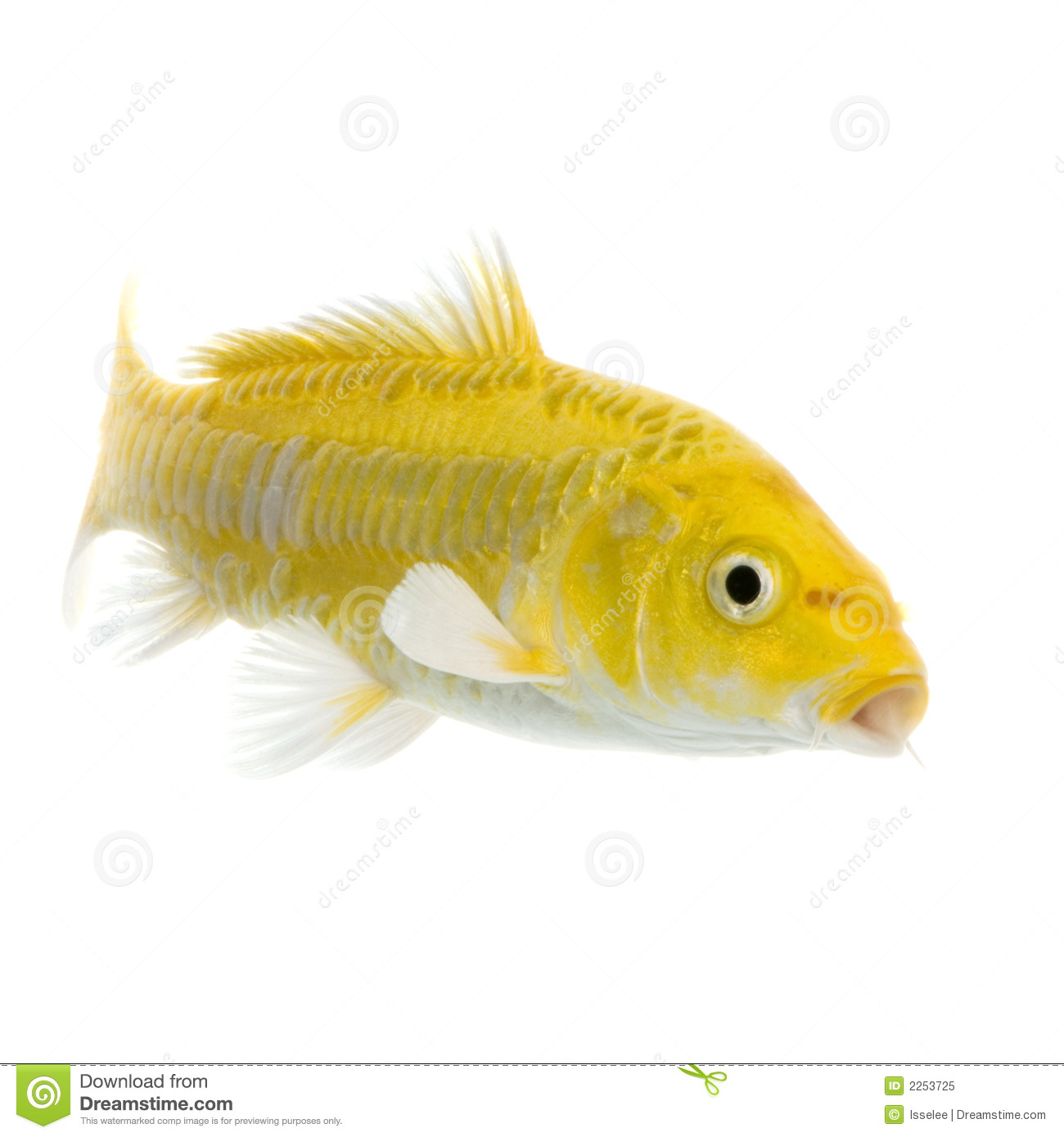 Koi yamabuki ogon stock image image of yamabuki swim for Ogon koi fish