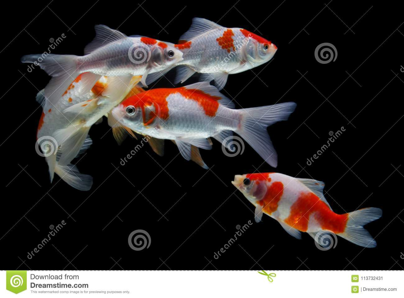 Koifish-colordiversity Asiat