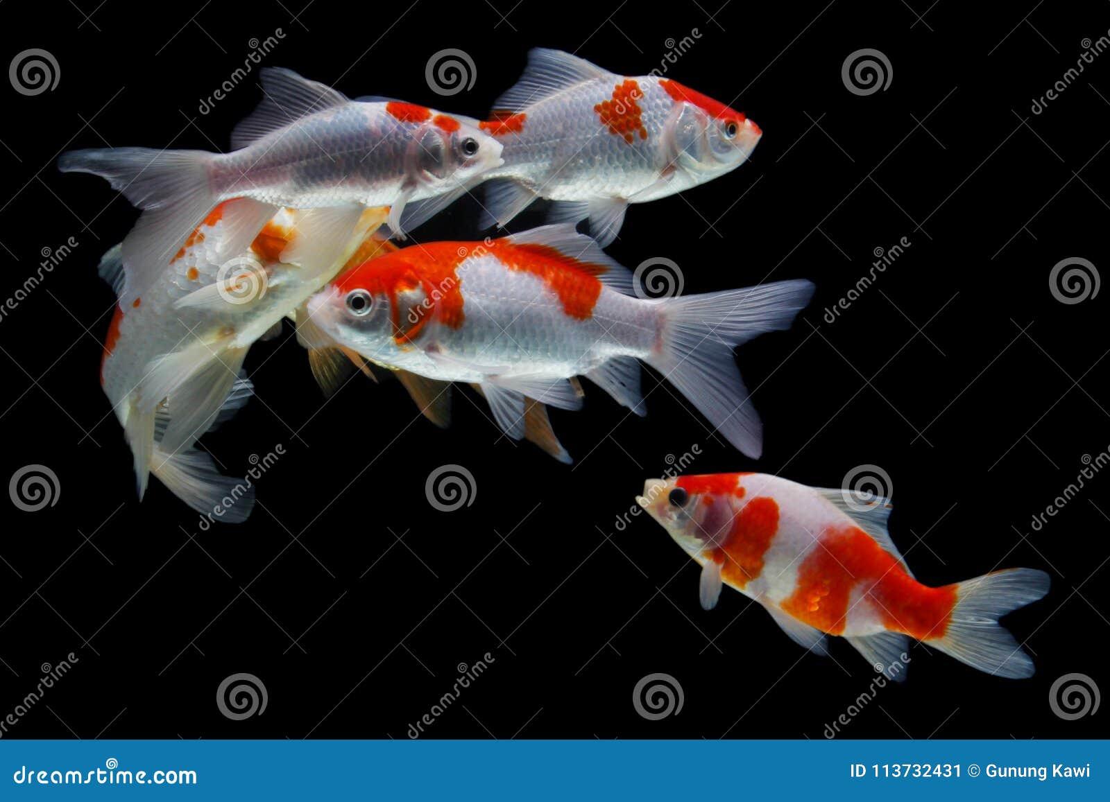 Koifishcolordiversity Aziaat