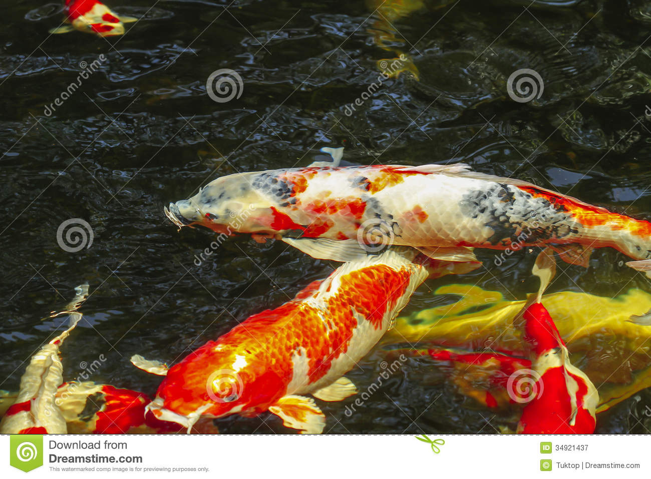 Kois carp in a pond royalty free stock photography image for Carp pond design