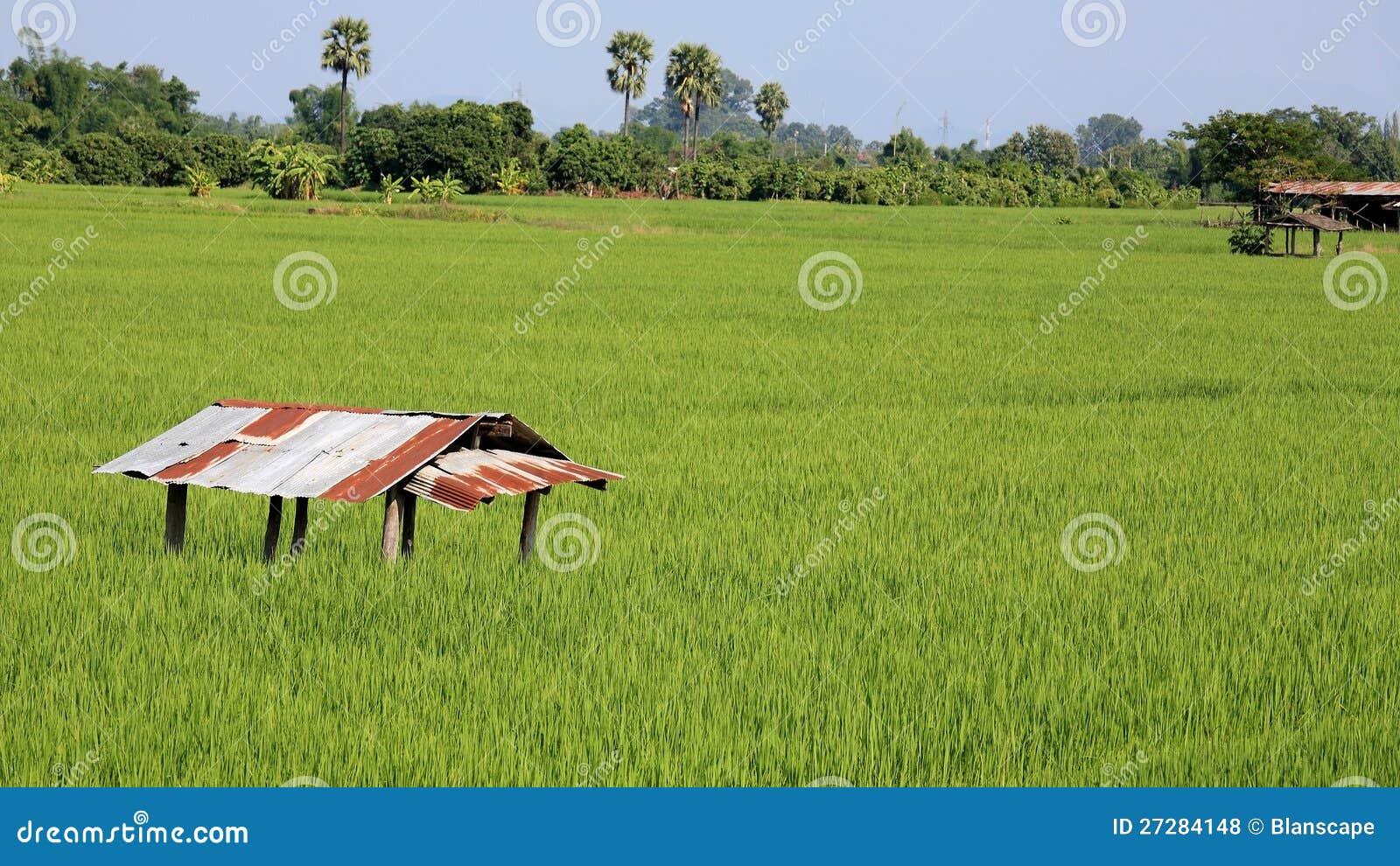 Koja på ricefält