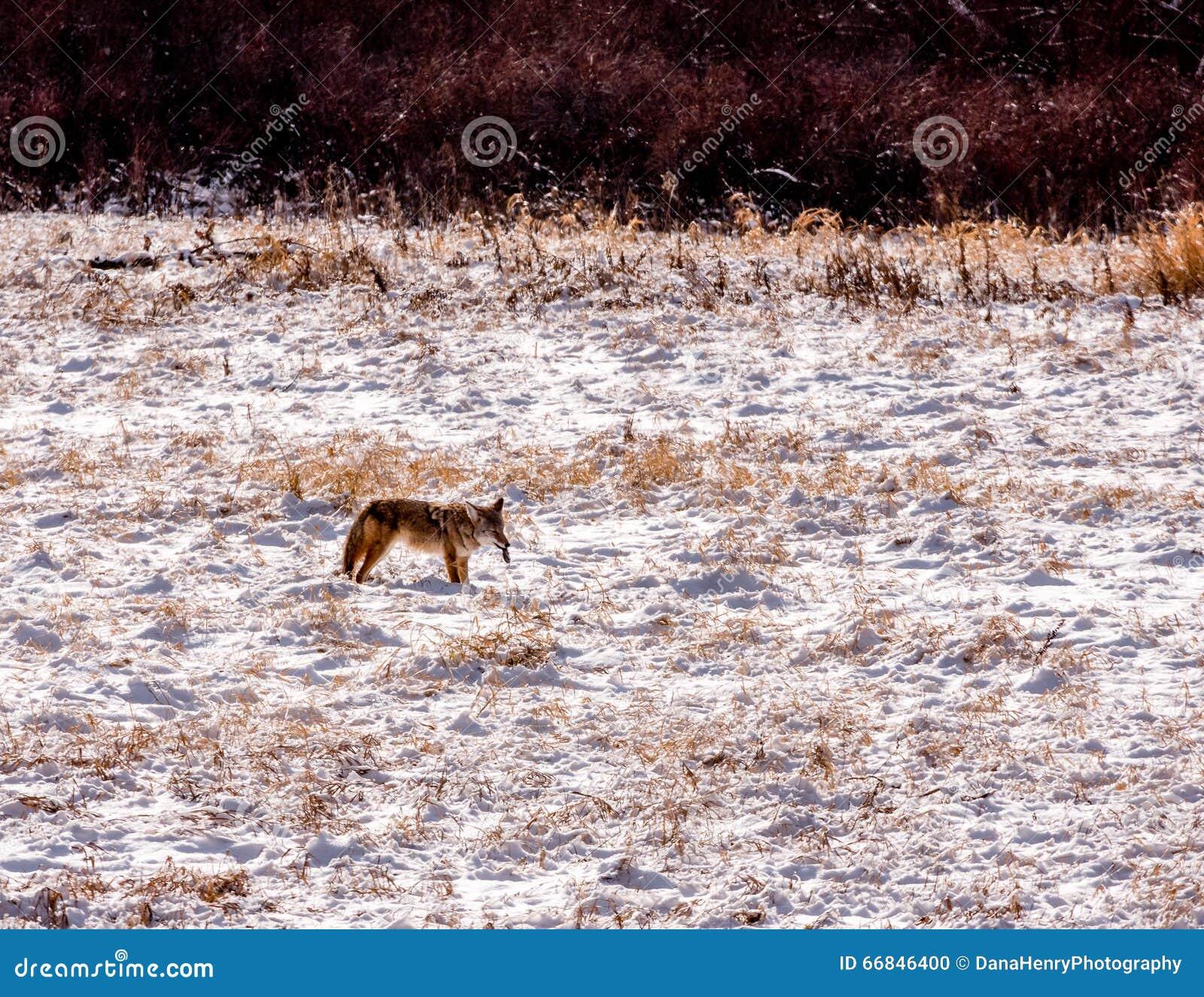 Kojot w śniegu Z zdobyczem