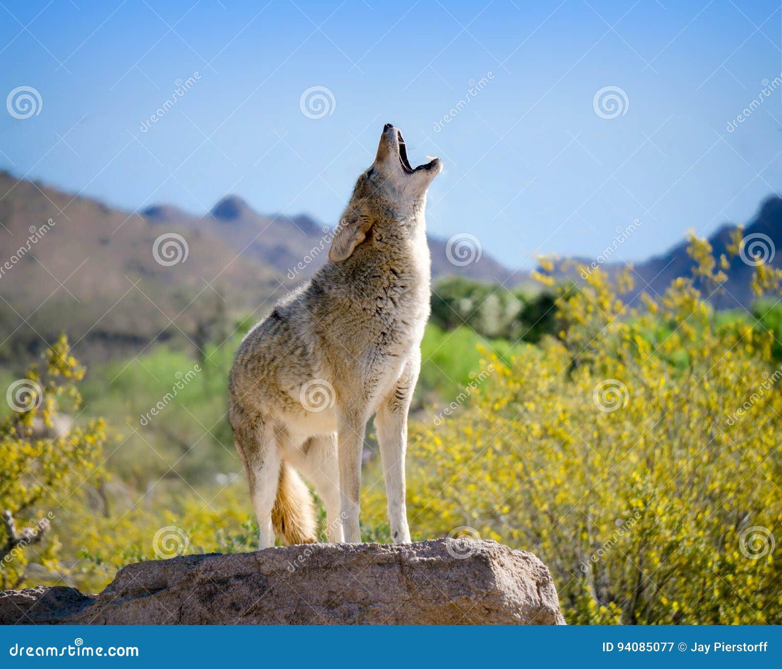 Kojot Wy w Amerykańskich południowych zachodach
