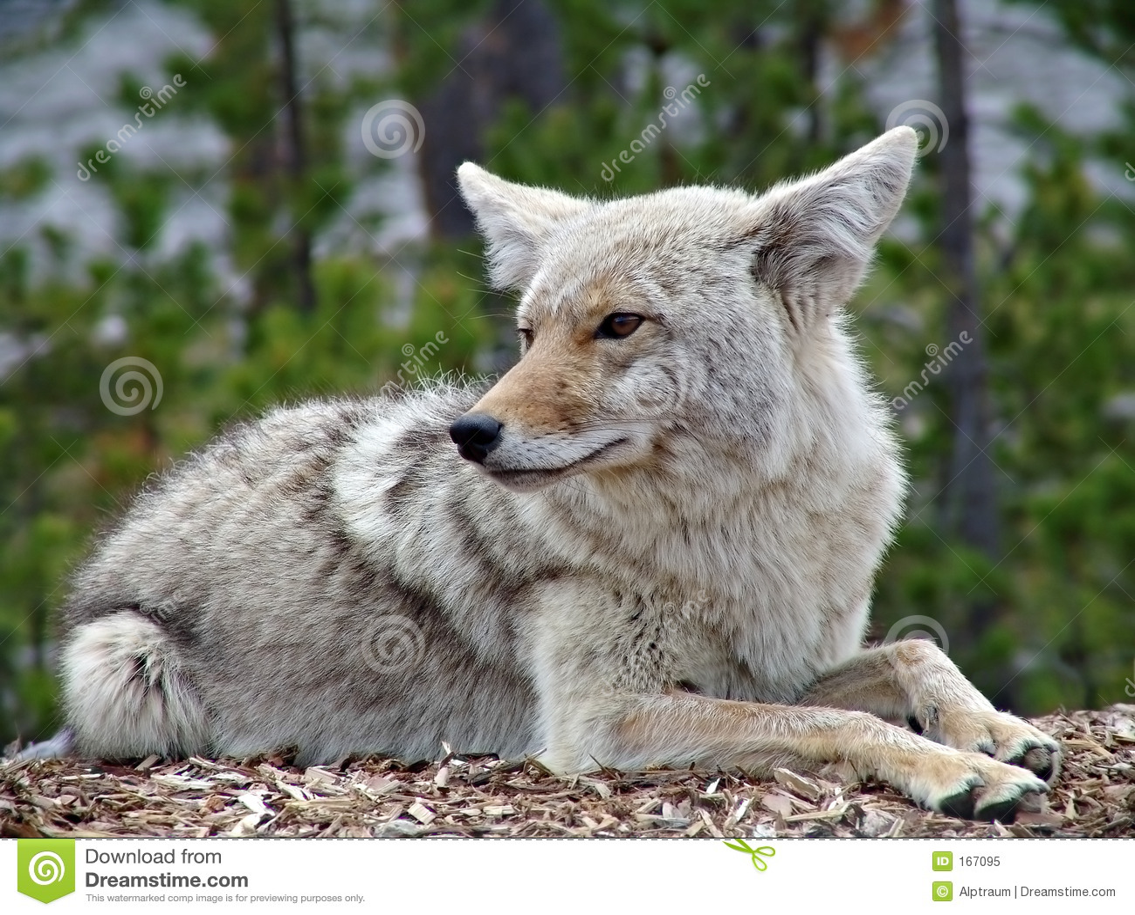 Kojot Yellowstone