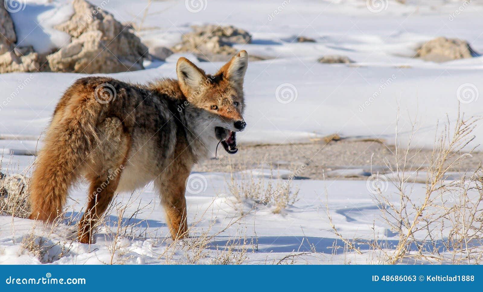 Kojote mit Maus 2