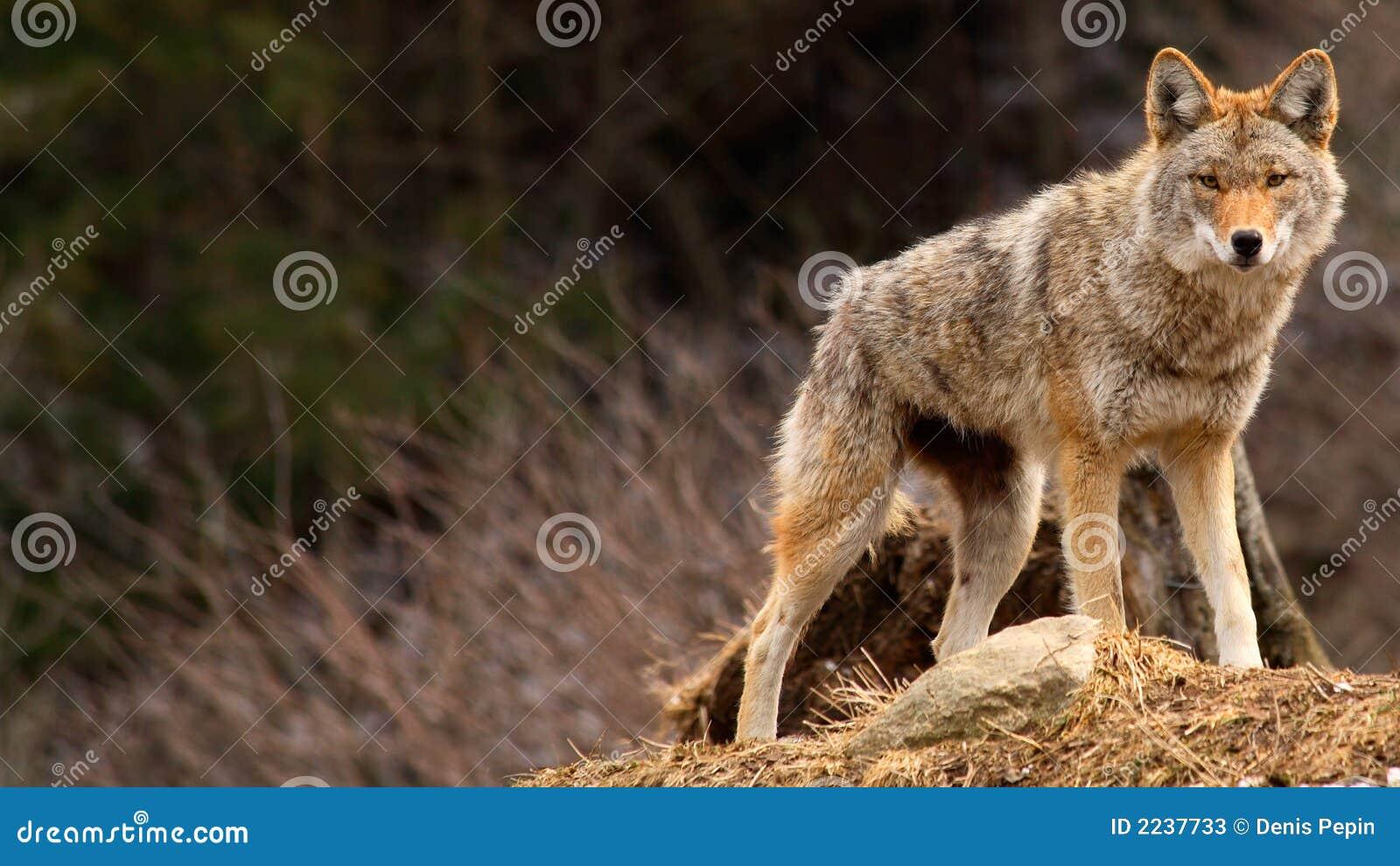Kojote oben auf einen Hügel