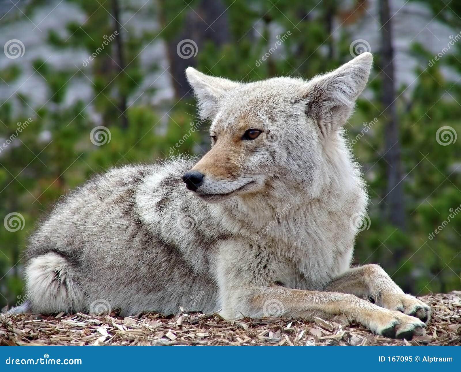 Kojote in Yellowstone