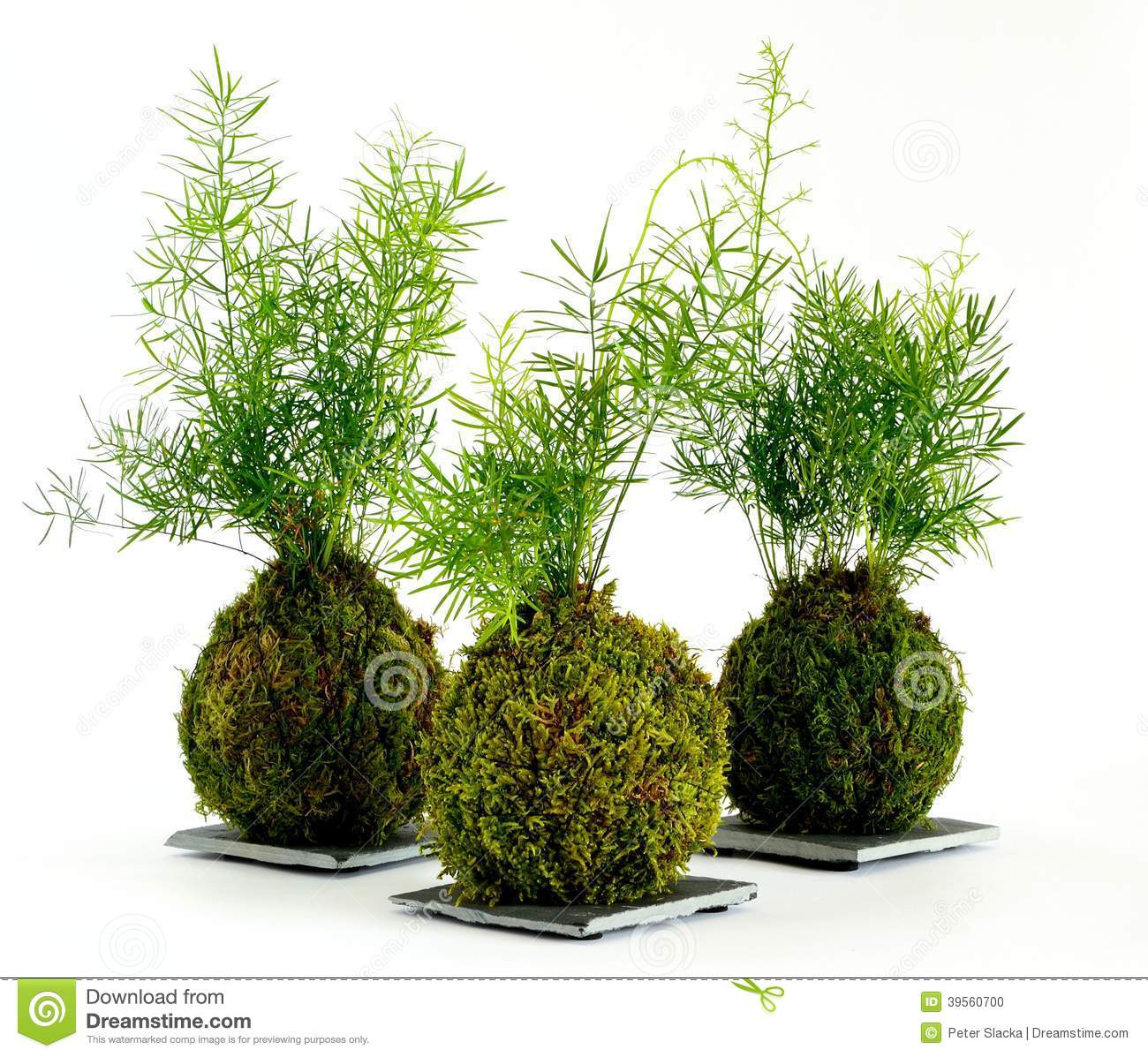 kokedama asparagus stock photo image of coriander. Black Bedroom Furniture Sets. Home Design Ideas