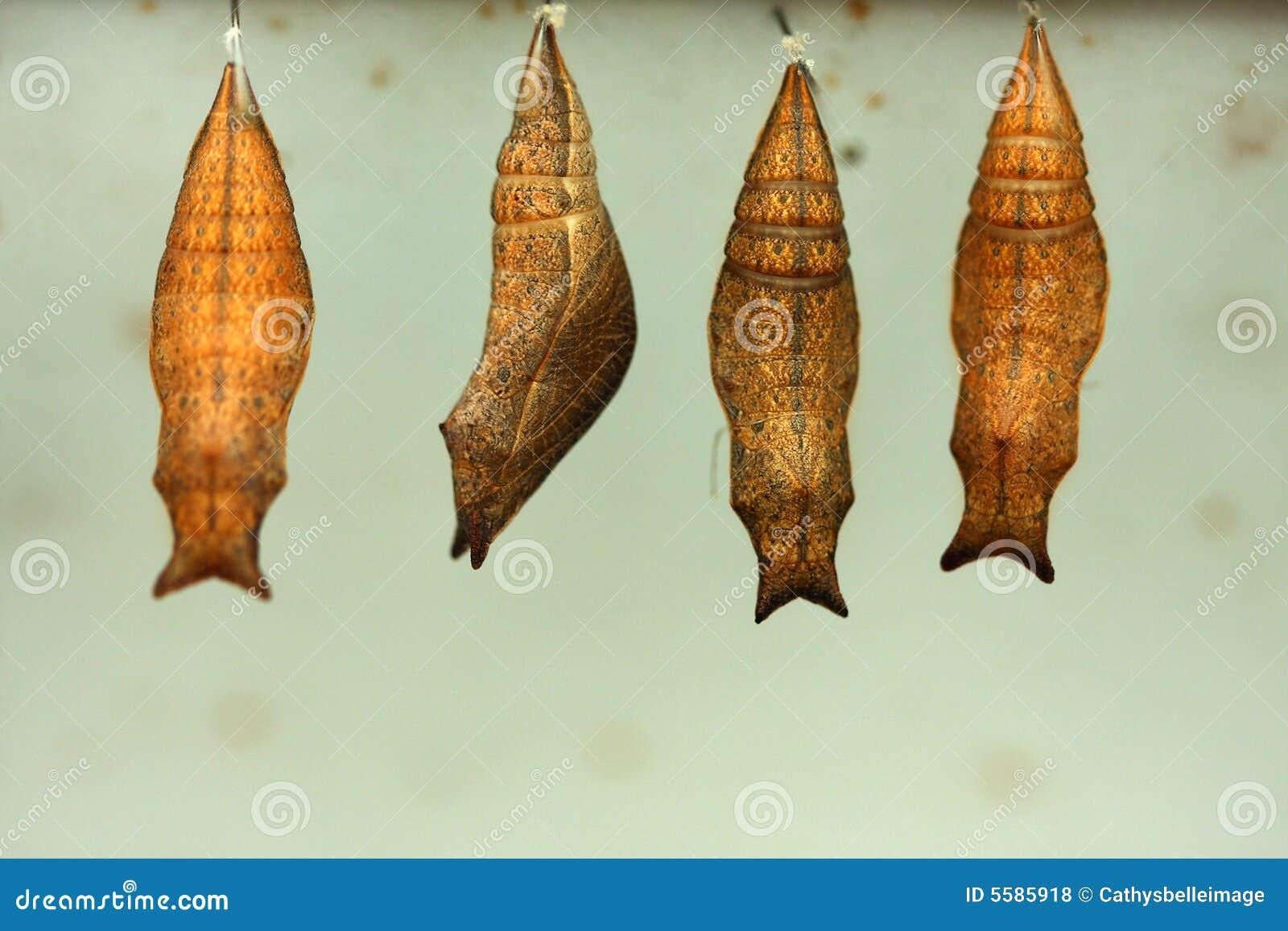 kokon stockfoto bild von chrysalis insekte schwangerschaft 5585918. Black Bedroom Furniture Sets. Home Design Ideas