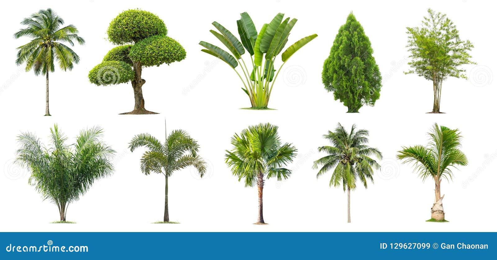 Kokosnöt och palmträd, bambu, banan, Tako, isolerat träd på vit bakgrund,