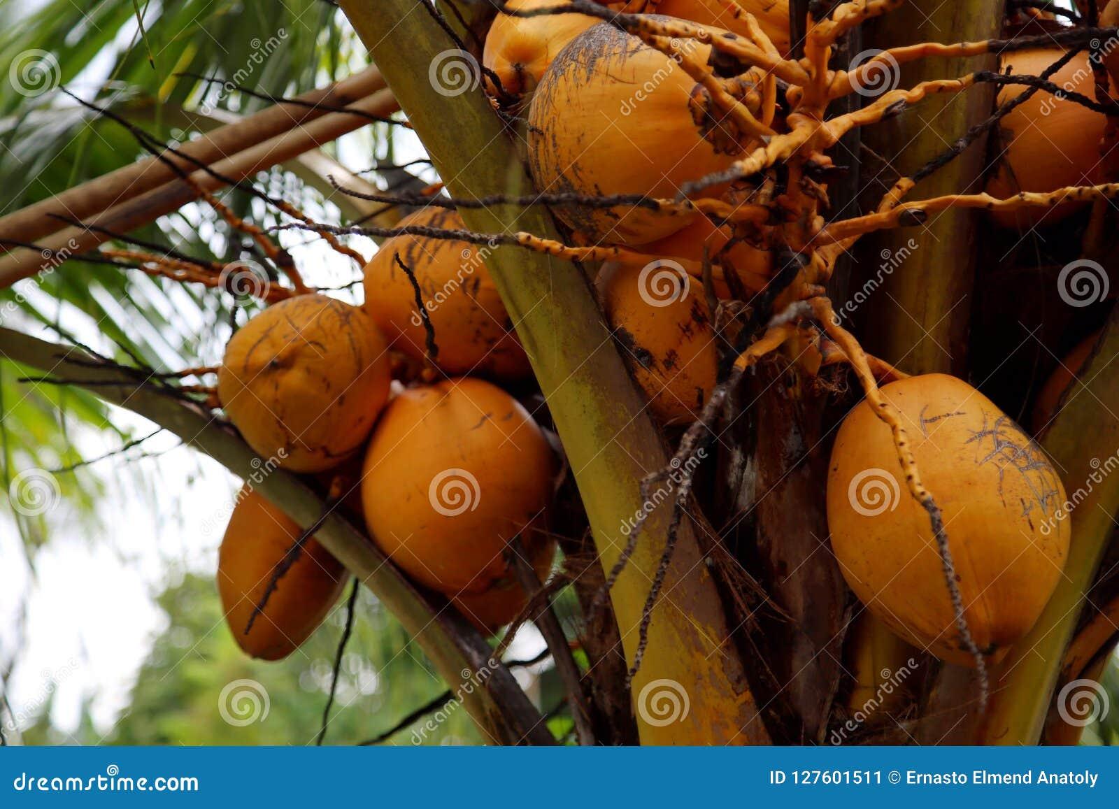 Kokosnöten bär frukt i indonesia