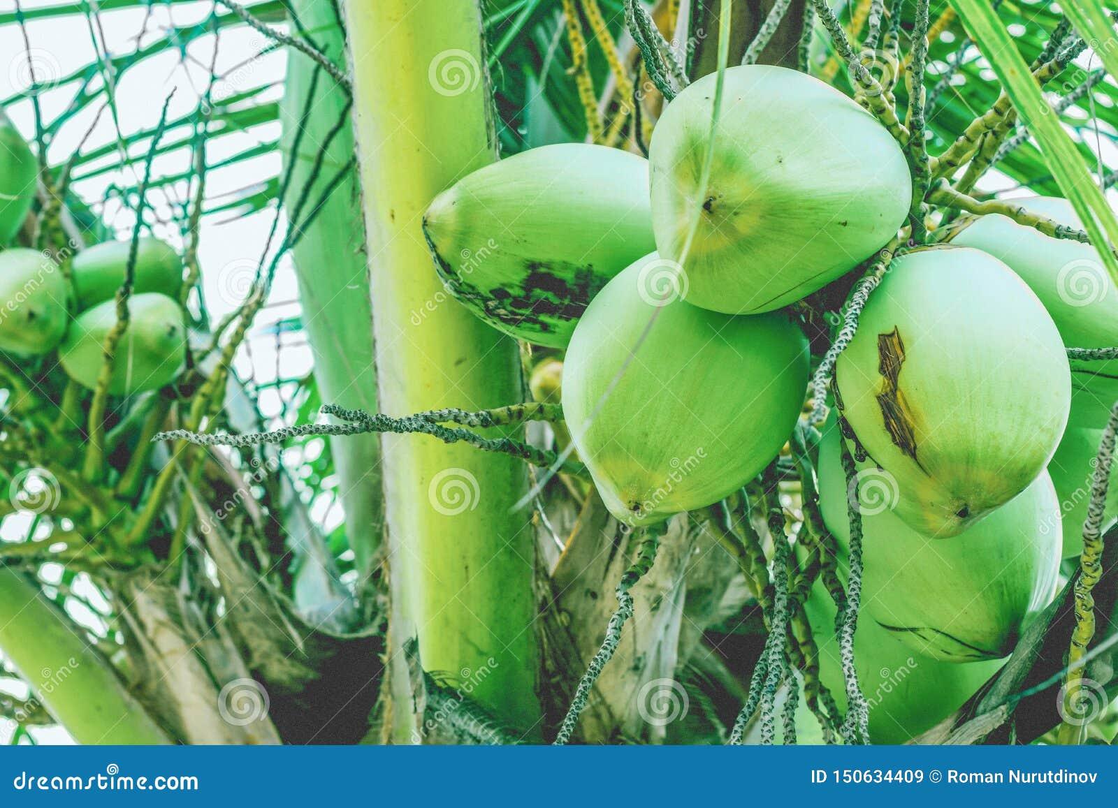 Kokosnötfrukter på a gömma i handflatan filialen