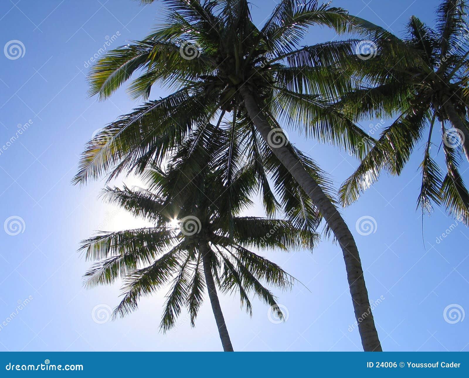 Kokosnöttrees