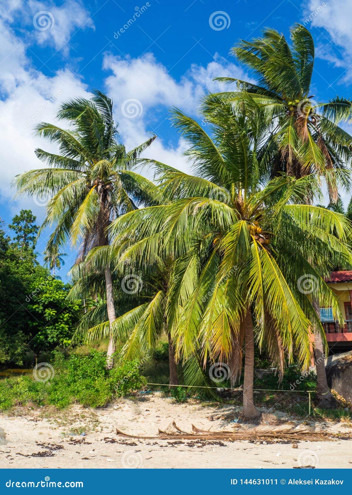 Kokosn?sse, die auf einer gr?nen Palme gegen einen blauen Himmel wachsen