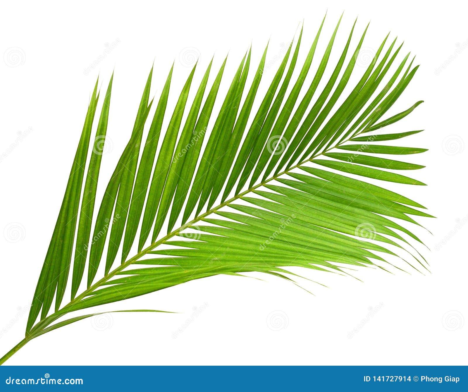 Kokosnotenbladeren of Kokosnotenvarenbladen, Groene plambladeren, Tropisch die gebladerte op witte achtergrond met het knippen va