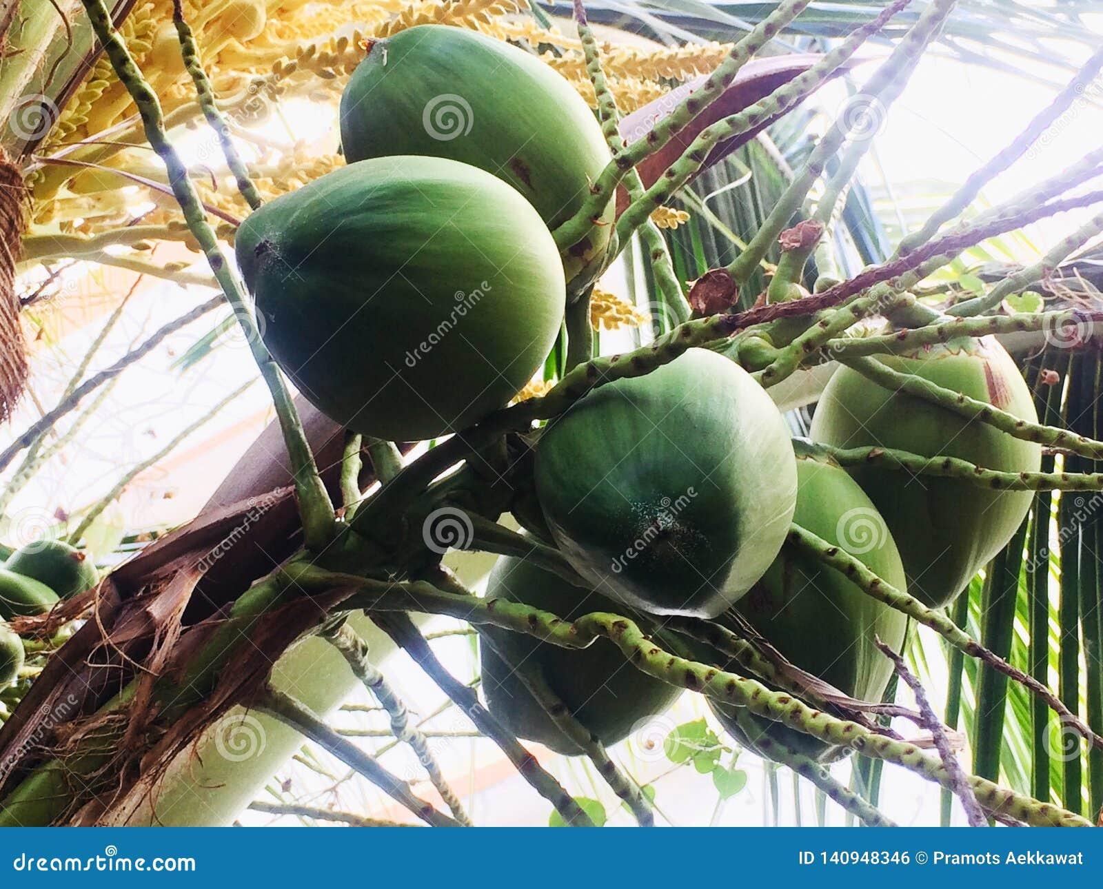 Kokosnuss, die auf einen Tag wartet, um in ein großes Kind am nächsten Tag zu wachsen, um bereit zu sein, ein neuer Baum zu sein