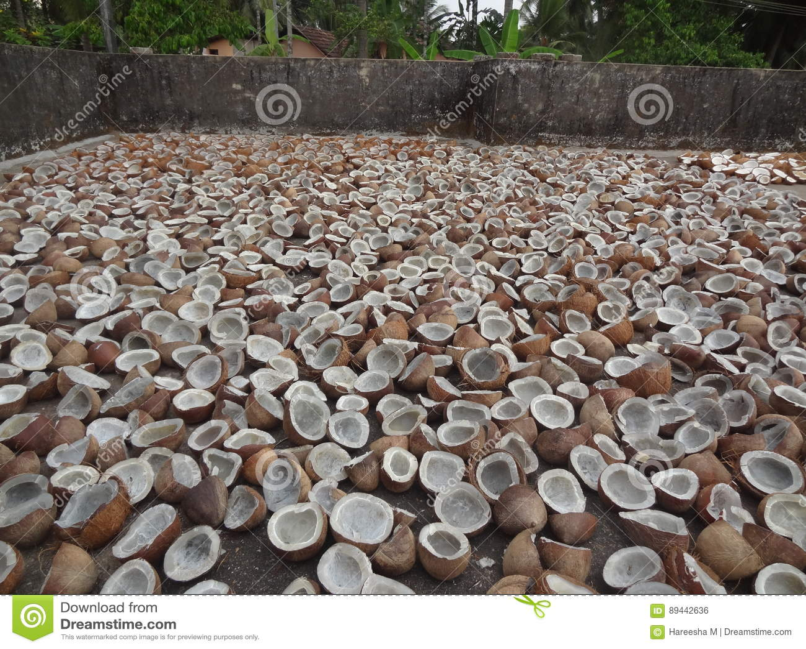 Kokosnuss Kopra Die Im Sonnenlicht Trocknet Stockfoto Bild Von