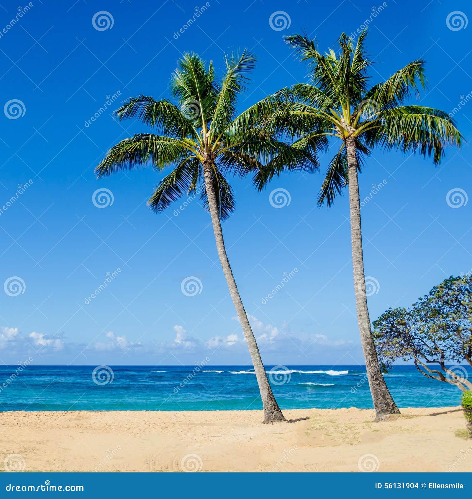kokosnuss palmen auf dem sandigen poipu setzen in hawaii auf den strand stockfoto bild von. Black Bedroom Furniture Sets. Home Design Ideas