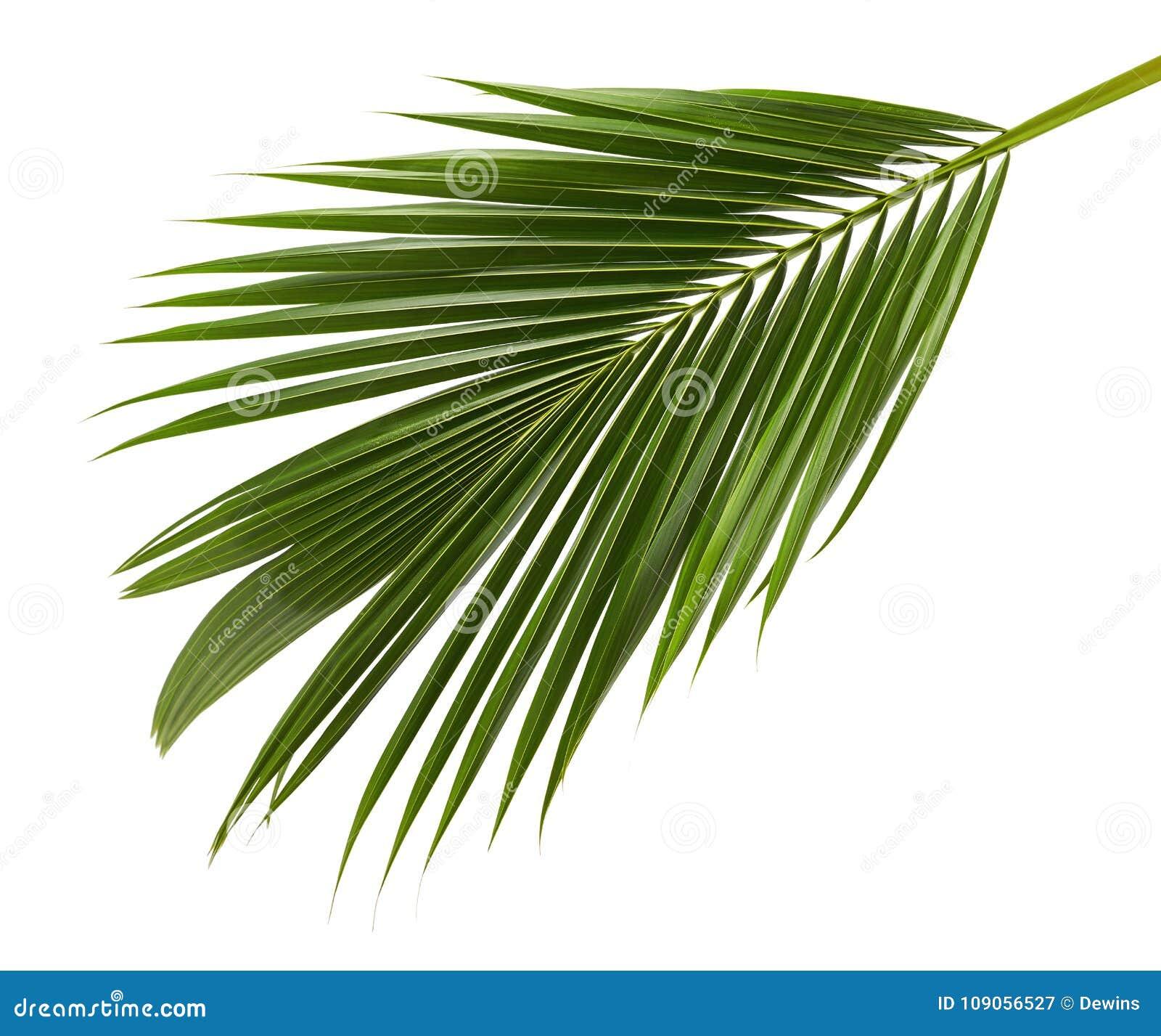 Kokosnussblätter oder Kokosnusswedel, grünes plam verlässt, das tropische Laub, das auf weißem Hintergrund mit Beschneidungspfad