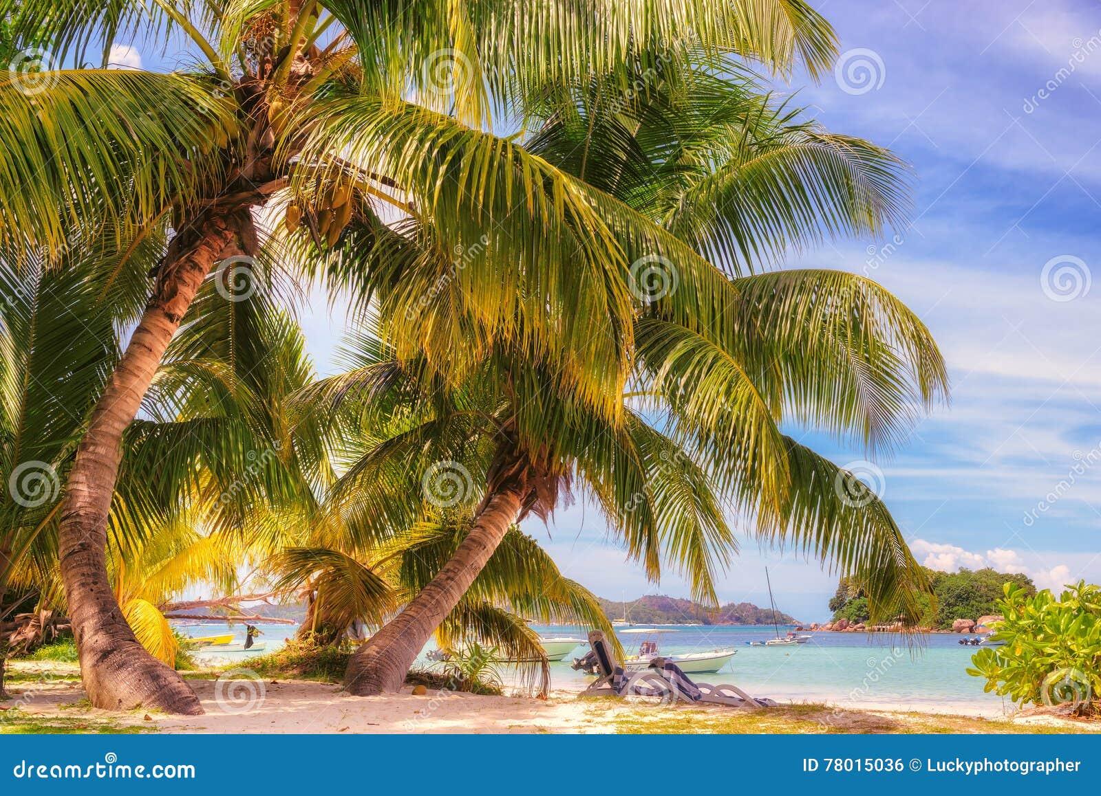 Kokosowy drzewko palmowe na tropikalnej plaży i błękitnym oceanie