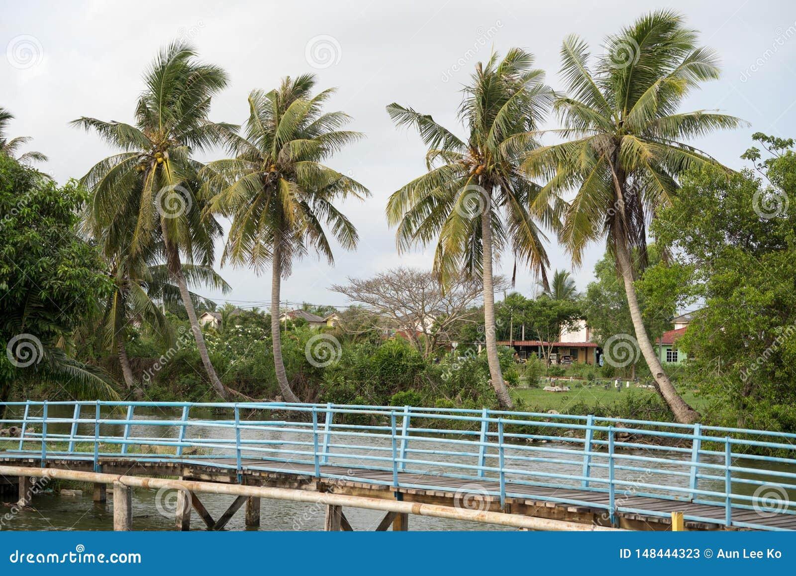 Kokospalm i byn