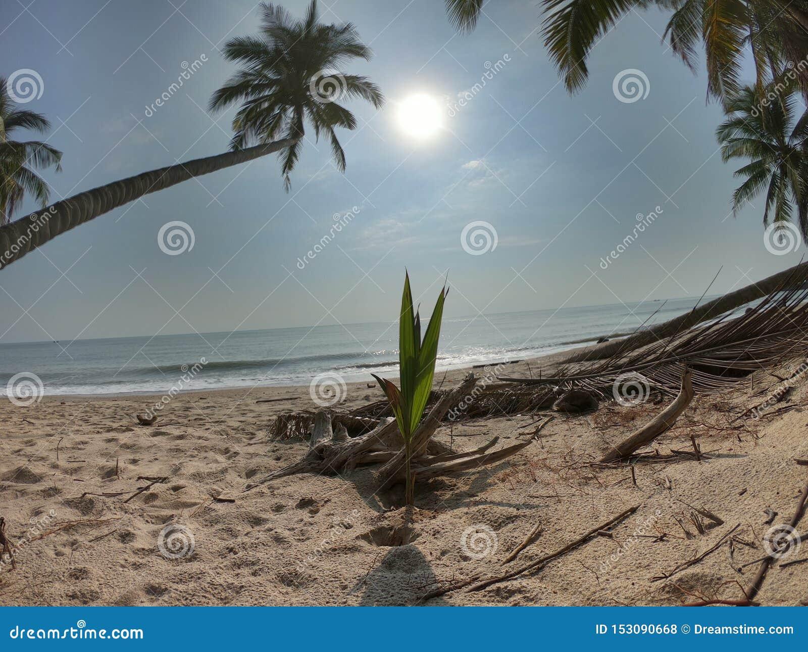 Kokospalm naast het strand
