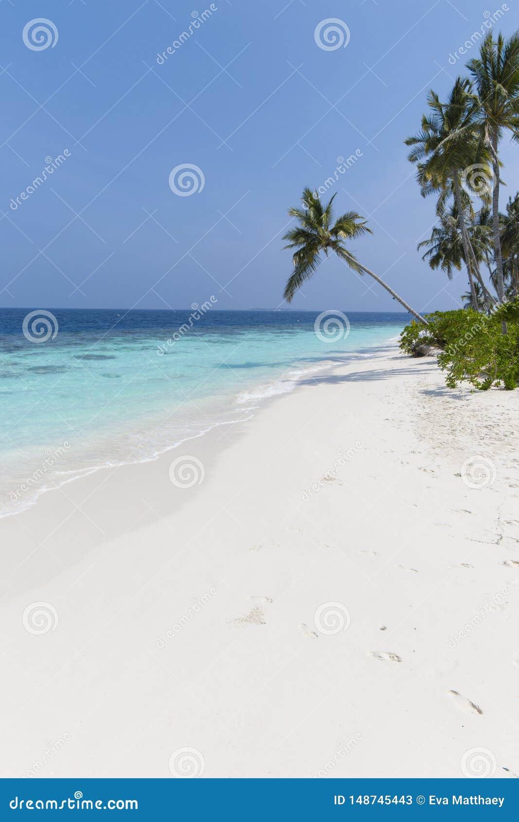 Kokospalm p? en vit sandig strand och ett kristallklart vatten i Maldiverna