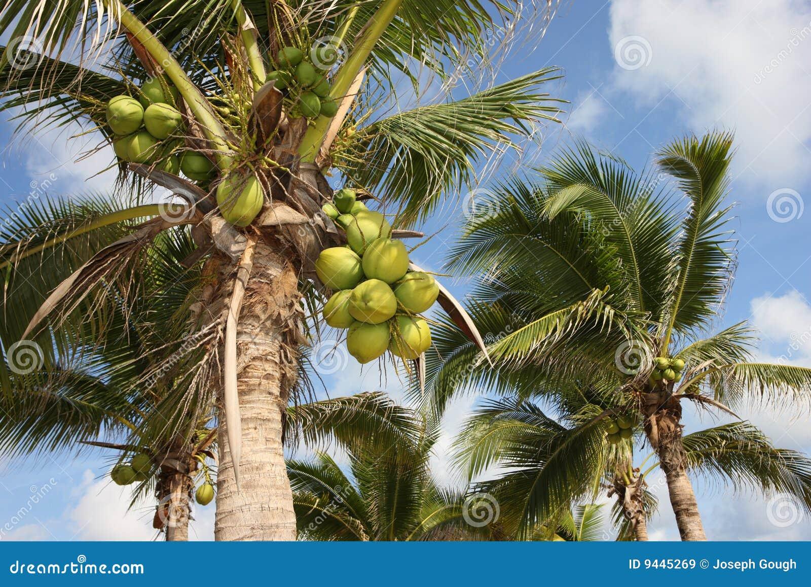 Kokospalmen, Thailand