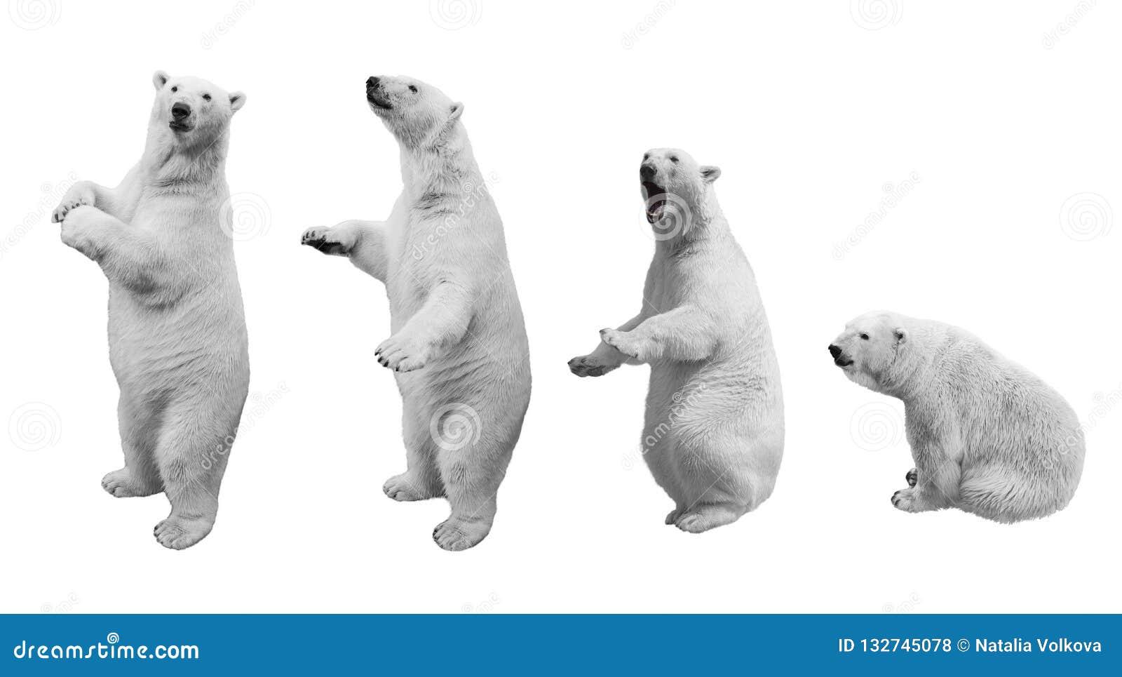 Kolaż niedźwiedź polarny w różnorodnych pozach na białym tle