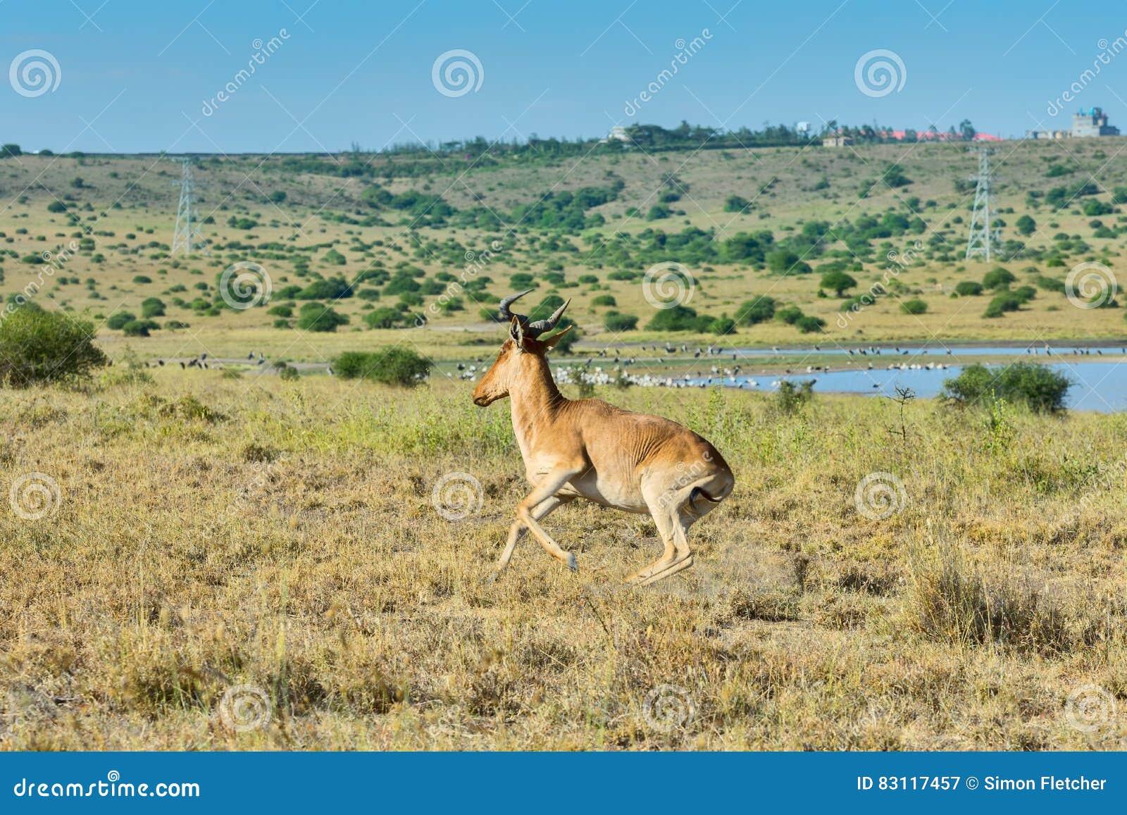Kole Hartebeest, Działający Nairobia park narodowy, Kenja
